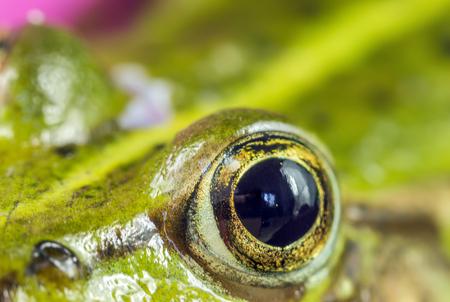 green tree frog: eye green frog