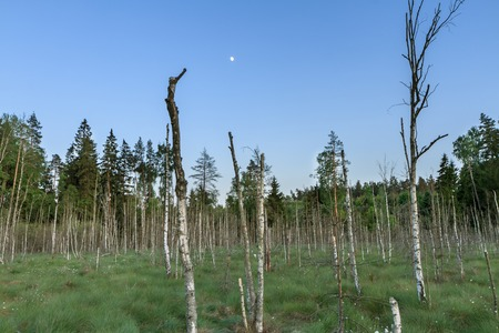 sear: Swamp trees in the evening