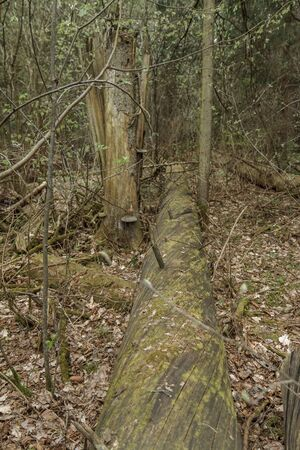 stumps: Broken tree stumps