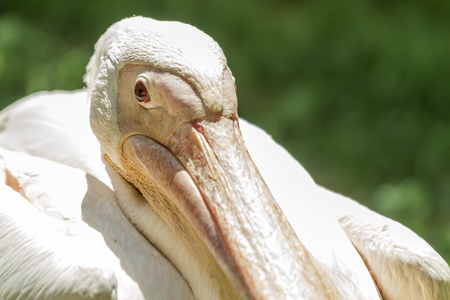 beak: Pelican beak close Stock Photo
