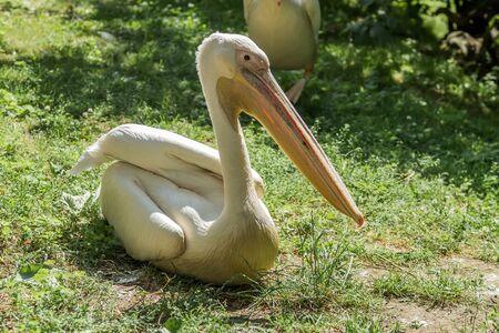 sits: Big pelican sits