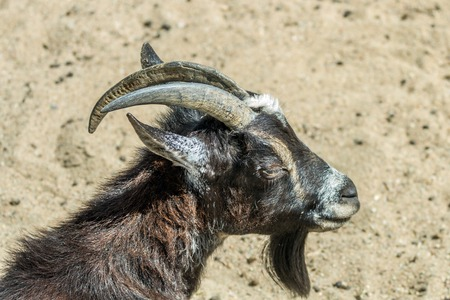 brown goat: Brown Goat