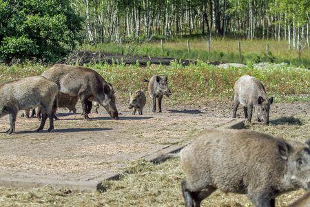 hog: hog family