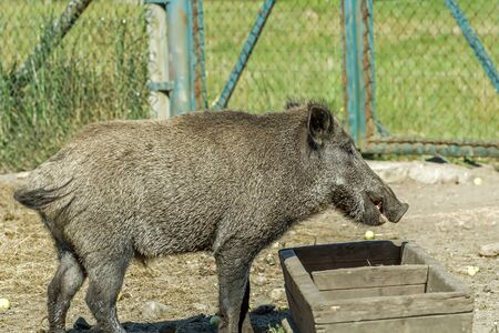 pig out: wild hog at the trough