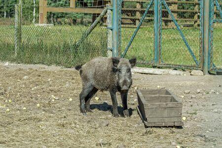hog: big hog trough to eat
