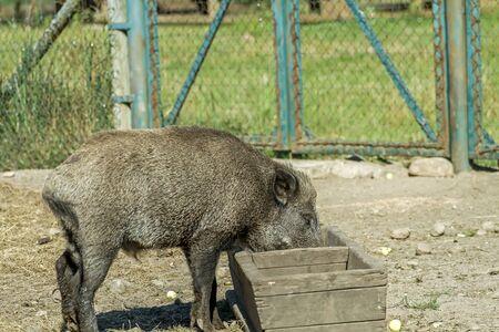 hog: hog trough to eat