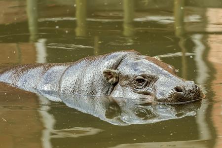 hippopotamus: vuelo hipopótamo
