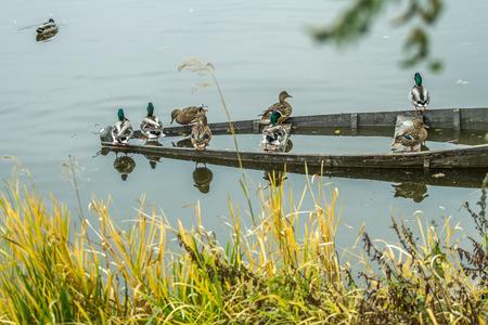 mallard duck: ducks in old boat Stock Photo
