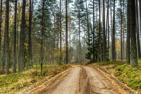 pine forest: roas in the forest Stock Photo
