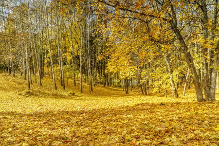 yellow leaves: yellow leaves on the field
