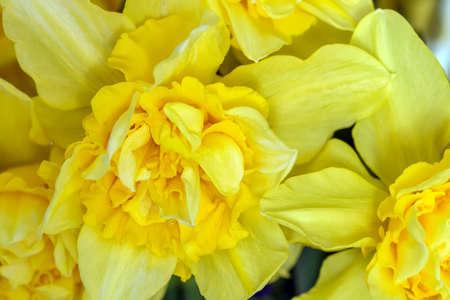 daffodils: Yellow daffodils macro