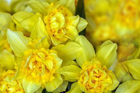 narcissus: Yellow narcissus Closeup