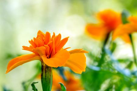 carroty: Carroty Marigold