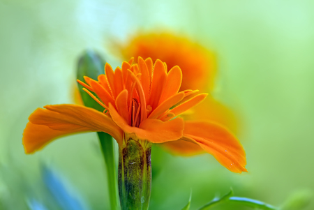 carroty: One nice Marigold