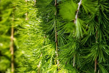 conifers: Conifers photographed in nature Stock Photo