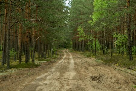 pine forest: The path from woods Stock Photo