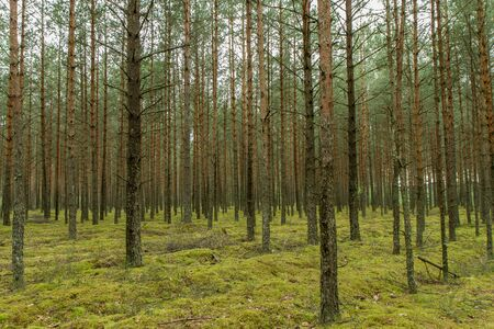 pine forest: Many trees in forest