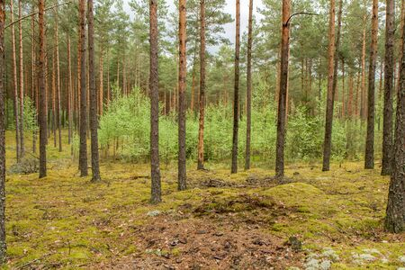 pine forest: Trees in forest