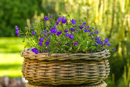 Geranium in Wicker basket
