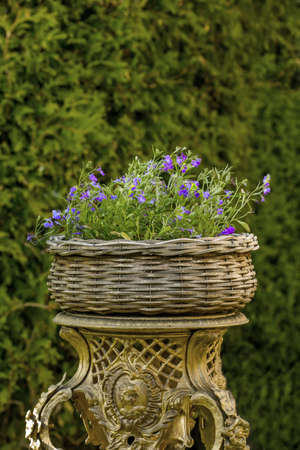 geranium: Geranium in Wicker basket