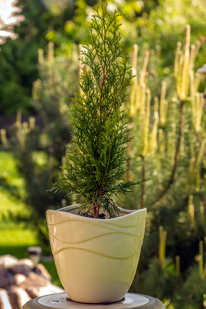 carroty: Thuja photographed in nature