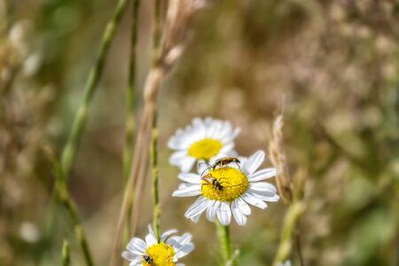 Beetles on outdoor flowers