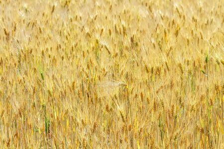 Autumn fields before harvesting grain. Standard-Bild - 138645784