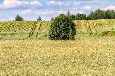 Autumn fields before harvesting grain.