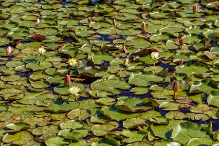 Flowering lilies grow in a small pond in early summer Standard-Bild