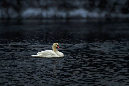 A lone swan floating on a river Standard-Bild