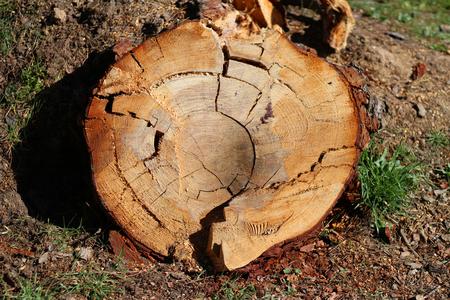 Wood tree cut detail Imagens