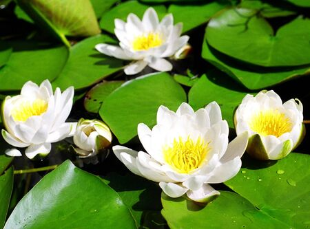 White water lilies with green leaves. photo