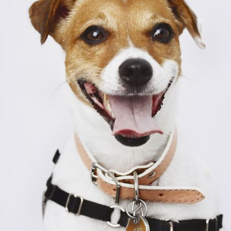 Close-up of a dog wearing a harness and a collar, looking at the camera and panting. Square shot. photo