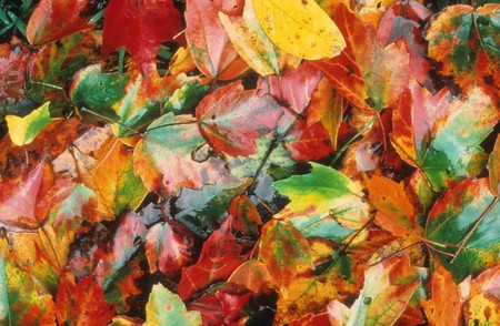 Overhead view of colorful autumn leaves of various colors are lying on the ground after having fallen from a tree.