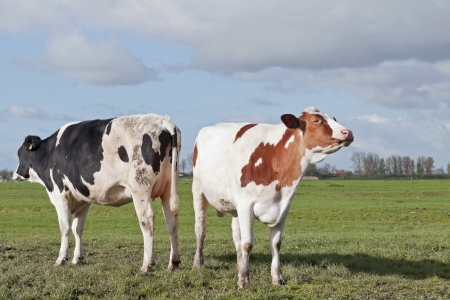 young cows on grassland Stock Photo - 14113475