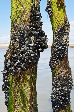 Mussel farm in Normandy France  photo