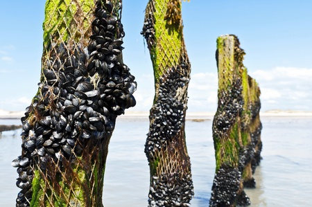 Mussel farm in Normandy France  Stock Photo