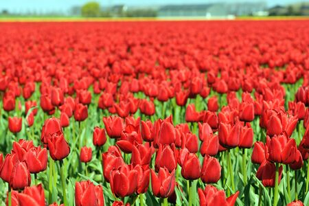 tulip field with red tulips in the Netherlands  photo