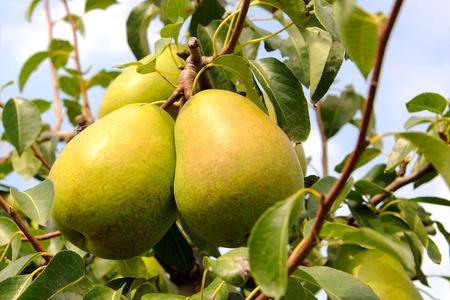 pear tree in sunlight