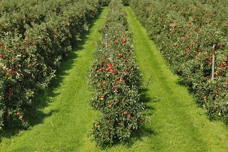 red apple orchard with beautiful red apples ready for harvesting
