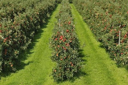 rode appel boomgaard met mooie rode appels klaar voor de oogst