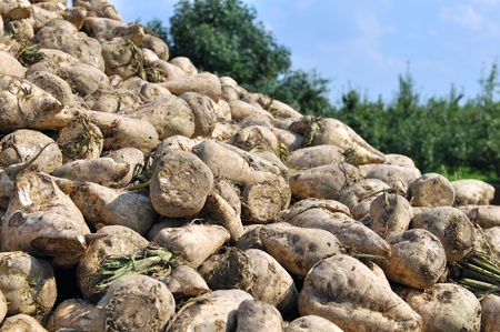 pile of sugar beets on harvest day  photo