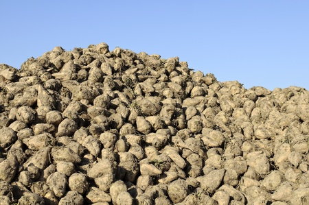 sugar beets on harvest day  photo