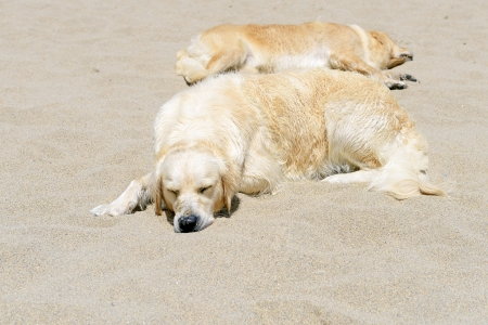 sleeping golden retrievers on sandy beach  photo
