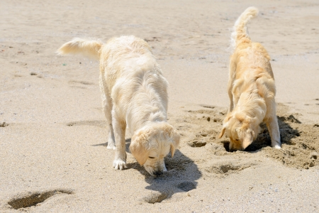two golden retriever resting on the beach  photo