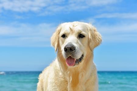 dog nose: cane sulla spiaggia - golden retriever, close-up shot