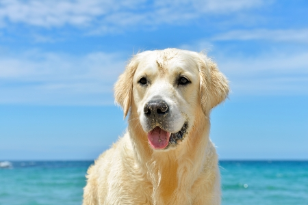 dog on the beach - golden retriever, close-up shot