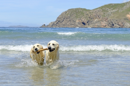 two golden retriever dogs coming with stick out of the sea photo