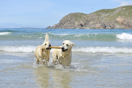 two golden retriever dogs coming with stick out of the sea Stock Photo
