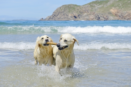 dos perros golden retriever que vienen con sobresalen del mar photo